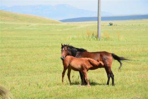 Paarden in Kirgizië